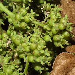 Fruits: Hydrangea quercifolia. ~ By Steven Baskauf. ~ Copyright © 2017 CC-BY-NC-SA. ~  ~ Bioimages - www.cas.vanderbilt.edu/bioimages/frame.htm