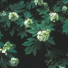 Plant form: Hydrangea quercifolia. ~ By Cheryl Lowe. ~ Copyright © 2018 New England Wild Flower Society. ~ Image Request, images[at]newenglandwild.org