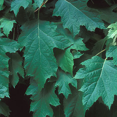 Leaves: Hydrangea quercifolia. ~ By Dorothy Long. ~ Copyright © 2019 New England Wild Flower Society. ~ Image Request, images[at]newenglandwild.org