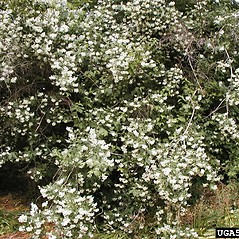 Plant form: Philadelphus coronarius. ~ By Dow Gardens. ~ Copyright © 2019 CC BY-NC 3.0. ~  ~ Bugwood - www.bugwood.org/