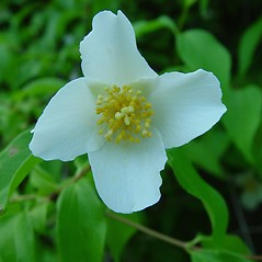 Flowers: Philadelphus inodorus. ~ By Arthur Haines. ~ Copyright © 2020. ~ arthurhaines[at]wildblue.net