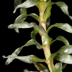 Stems: Elodea nuttallii. ~ By Robert Vid_ki. ~ Copyright © 2018 CC BY-NC 3.0. ~  ~ Bugwood - www.bugwood.org/