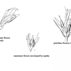 Inflorescences: Najas flexilis. ~ By Mary Barnes Pomeroy. ~ Copyright © 2017 Estate of Herbert Mason. ~ Any use permitted ~ Mason, HL. 1957. A flora of the Marshes of California. U. of California Press, Berkeley and Los Angeles, Library of Congress number 57-7960