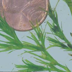 Inflorescences: Najas guadalupensis. ~ By Clayton J. Antieau. ~ Copyright © 2018 Clayton J. Antieau. ~ Clayton.Antieau[at]seattle.gov ~ U. of Washington - WTU - Herbarium - biology.burke.washington.edu/herbarium/imagecollection.php