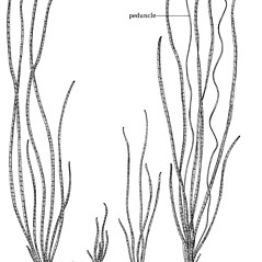 Plant form: Vallisneria americana. ~ By C. Barre Hellquist. ~ Copyright © 2018 C. Barre Hellquist. ~ C.Barre.Hellquist[at]mcla.edu ~ U. of New Hampshire