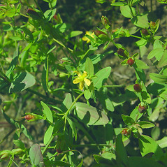 Flowers and fruits: Hypericum boreale. ~ By Glen Mittelhauser. ~ Copyright © 2017 Glen Mittelhauser. ~ www.mainenaturalhistory.org