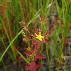 Plant form: Hypericum boreale. ~ By Glen Mittelhauser. ~ Copyright © 2019 Glen Mittelhauser. ~ www.mainenaturalhistory.org