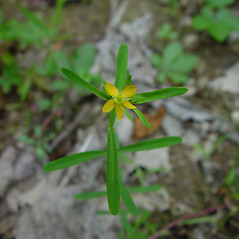 Flowers: Hypericum canadense. ~ By Arthur Haines. ~ Copyright © 2020. ~ arthurhaines[at]wildblue.net