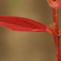 Stems: Hypericum canadense. ~ By Ben Legler. ~ Copyright © 2017 Ben Legler. ~ mountainmarmot[at]hotmail.com ~ U. of Washington - WTU - Herbarium - biology.burke.washington.edu/herbarium/imagecollection.php