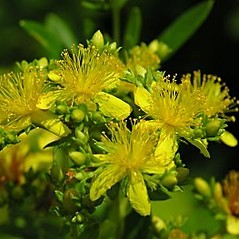 Flowers: Hypericum densiflorum. ~ By Will Cook. ~ Copyright © 2018 Will Cook. ~ cwcook[at]duke.edu, carolinanature.com ~ North Carolina Plant Photos - www.carolinanature.com/plants/