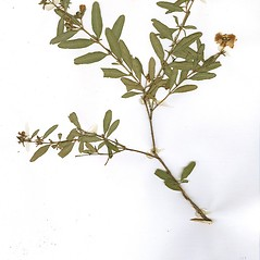 Plant form: Hypericum dolabriforme. ~ By CONN Herbarium. ~ Copyright © 2018 CONN Herbarium. ~ Requests for image use not currently accepted by copyright holder ~ U. of Connecticut Herbarium - bgbaseserver.eeb.uconn.edu/