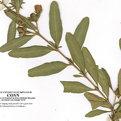 Leaves: Hypericum dolabriforme. ~ By CONN Herbarium. ~ Copyright © 2018 CONN Herbarium. ~ Requests for image use not currently accepted by copyright holder ~ U. of Connecticut Herbarium - bgbaseserver.eeb.uconn.edu/