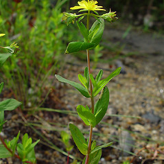 Plant form: Hypericum ellipticum. ~ By Arthur Haines. ~ Copyright © 2020. ~ arthurhaines[at]wildblue.net