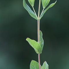 Stems: Hypericum ellipticum. ~ By Arieh Tal. ~ Copyright © 2020 Arieh Tal. ~ http://botphoto.com/ ~ Arieh Tal - botphoto.com