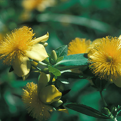 Flowers: Hypericum frondosum. ~ By John Lynch. ~ Copyright © 2017 New England Wild Flower Society. ~ Image Request, images[at]newenglandwild.org