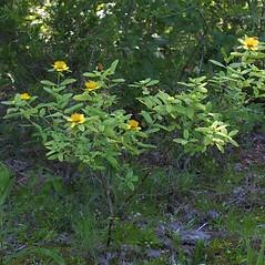 Plant form: Hypericum frondosum. ~ By Steven Baskauf. ~ Copyright © 2018 CC-BY-NC-SA. ~  ~ Bioimages - www.cas.vanderbilt.edu/bioimages/frame.htm