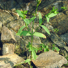 Plant form: Hypericum majus. ~ By Glen Mittelhauser. ~ Copyright © 2017 Glen Mittelhauser. ~ www.mainenaturalhistory.org
