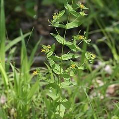 Plant form: Hypericum mutilum. ~ By Arieh Tal. ~ Copyright © 2017 Arieh Tal. ~ www.nttlphoto.com ~ Arieh Tal - www.nttlphoto.com