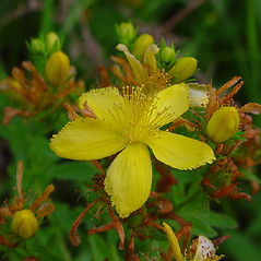 Flowers: Hypericum perforatum. ~ By Arthur Haines. ~ Copyright © 2018. ~ arthurhaines[at]wildblue.net