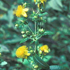 Flowers: Hypericum prolificum. ~ By John Lynch. ~ Copyright © 2017 New England Wild Flower Society. ~ Image Request, images[at]newenglandwild.org