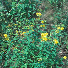 Plant form: Hypericum prolificum. ~ By Jean Baxter. ~ Copyright © 2017 New England Wild Flower Society. ~ Image Request, images[at]newenglandwild.org