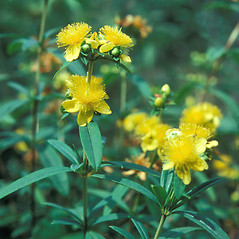 Leaves: Hypericum prolificum. ~ By Jean Baxter. ~ Copyright © 2017 New England Wild Flower Society. ~ Image Request, images[at]newenglandwild.org