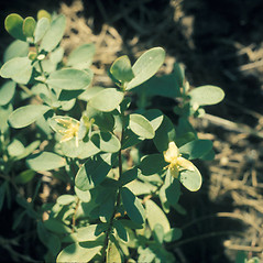 Plant form: Hypericum stragulum. ~ By Lawrence Newcomb. ~ Copyright © 2018 New England Wild Flower Society. ~ Image Request, images[at]newenglandwild.org
