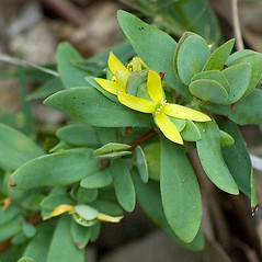 Leaves: Hypericum stragulum. ~ By David G. Smith. ~ Copyright © 2018. ~ dgsmith3[at]gmail.com ~ Delaware Wildflowers - delawarewildflowers.org/