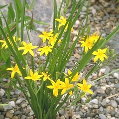 Flowers: Hypoxis hirsuta. ~ By Arieh Tal. ~ Copyright © 2017 Arieh Tal. ~ http://botphoto.com/ ~ Arieh Tal - botphoto.com