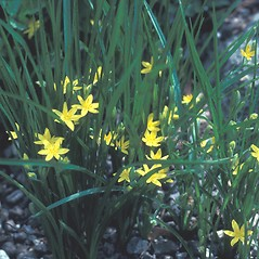Plant form: Hypoxis hirsuta. ~ By Dorothy Long. ~ Copyright © 2018 New England Wild Flower Society. ~ Image Request, images[at]newenglandwild.org