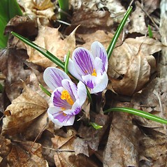 Flowers: Crocus vernus. ~ By Arthur Haines. ~ Copyright © 2019. ~ arthurhaines[at]wildblue.net