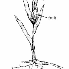 Fruits: Iris cristata. ~ By Southern Illinois University Press. ~ Copyright © 2017 Southern Illinois University Press. ~ Requests for image use not currently accepted by copyright holder ~ Mohlenbrock, Robert H. 1970. The Illustrated Flora of Illinois, Flowering Plants, lilies to orchids. Southern Illinois U. Press, Carbondale and Edwardsville, IL. 288pp.