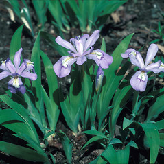Plant form: Iris cristata. ~ By John Lynch. ~ Copyright © 2020 New England Wild Flower Society. ~ Image Request, images[at]newenglandwild.org