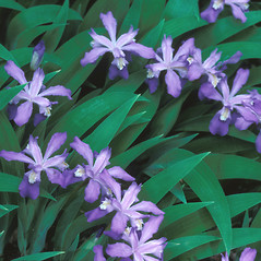 Leaves: Iris cristata. ~ By Dorothy Long. ~ Copyright © 2020 New England Wild Flower Society. ~ Image Request, images[at]newenglandwild.org