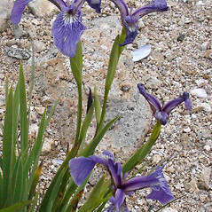Inflorescences: Iris hookeri. ~ By Jill Weber. ~ Copyright © 2019 Jill Weber. ~ jillweber03[at]gmail.com
