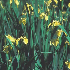 Plant form: Iris pseudacorus. ~ By John Lynch. ~ Copyright © 2020 New England Wild Flower Society. ~ Image Request, images[at]newenglandwild.org