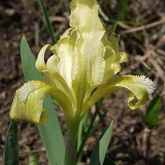 Flowers: Iris pumila. ~ By Ernst Horak. ~ Copyright © 2018 Ernst Horak. ~ BOTANIK IM BILD http:/flora.nhm-wien.ac.at ~ Wien Natural History Museum, Vienna, Austria