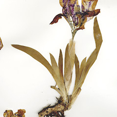 Inflorescences: Iris pumila. ~ By CONN Herbarium. ~ Copyright © 2018 CONN Herbarium. ~ Requests for image use not currently accepted by copyright holder ~ U. of Connecticut Herbarium - bgbaseserver.eeb.uconn.edu/