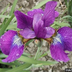 Flowers: Iris sibirica. ~ By Dow Gardens. ~ Copyright © 2020 CC BY-NC 3.0. ~  ~ Bugwood - www.bugwood.org/