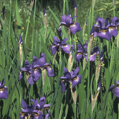 Plant form: Iris sibirica. ~ By John Lynch. ~ Copyright © 2019 New England Wild Flower Society. ~ Image Request, images[at]newenglandwild.org