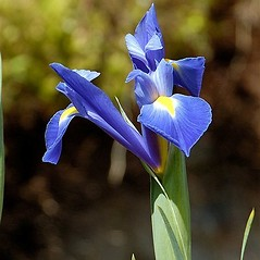 Inflorescences: Iris sibirica. ~ By John Crellin. ~ Copyright © 2020 © J.R. Crellin. ~ Floralimages www.floralimages.co.uk ~ Floral Images - www.floralimages.co.uk