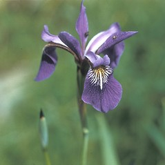 Flowers: Iris versicolor. ~ By Frank Bramley. ~ Copyright © 2019 New England Wild Flower Society. ~ Image Request, images[at]newenglandwild.org