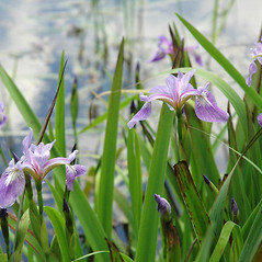 Plant form: Iris versicolor. ~ By Ben Kimball. ~ Copyright © 2020 Ben Kimball. ~ alpinefin[at]comcast.net