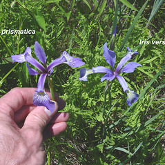 Comparison: Iris versicolor. ~ By Donald Cameron. ~ Copyright © 2020 Donald Cameron. ~ No permission needed for non-commercial uses, with proper credit