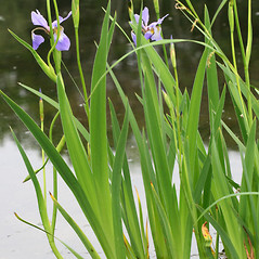 Leaves: Iris versicolor. ~ By Arieh Tal. ~ Copyright © 2018 Arieh Tal. ~ http://botphoto.com/ ~ Arieh Tal - botphoto.com