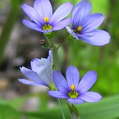 Flowers: Sisyrinchium atlanticum. ~ By Janet Novak. ~ Copyright © 2020 Janet Novak. ~ Requests for image use not currently accepted by copyright holder ~ Connecticut Botanical Society - www.ct-botanical-society.org/