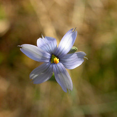 Flowers: Sisyrinchium atlanticum. ~  ~ Copyright © 2020. ~