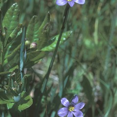 Flowers: Sisyrinchium montanum. ~ By Adelaide Pratt. ~ Copyright © 2018 New England Wild Flower Society. ~ Image Request, images[at]newenglandwild.org