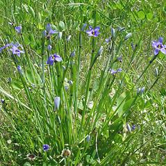 Plant form: Sisyrinchium montanum. ~ By Glen Mittelhauser. ~ Copyright © 2017 Glen Mittelhauser. ~ www.mainenaturalhistory.org