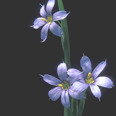 Inflorescences: Sisyrinchium montanum. ~ By Jean Buermeyer. ~ Copyright © 2018 New England Wild Flower Society. ~ Image Request, images[at]newenglandwild.org
